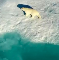 Amazing Polar Bears Drone Footage Worth Watching
