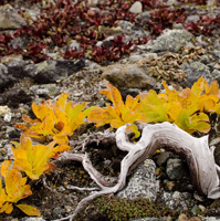 Taller Plants in Warming Arctic Accelerate Climate Change