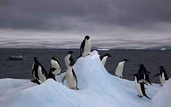 Autonomous multi-drone aerial surveys of antarctic penguin colonies